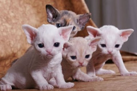 صور 14 weeks Devon Rex Breeders Devon Rex Cat Breeders 1