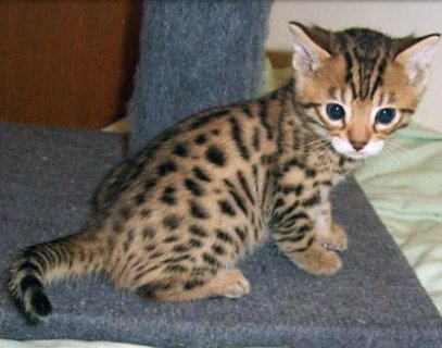 3Exotic bengal kitten