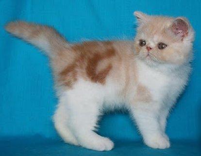 eAmerican Shorthair Kittens