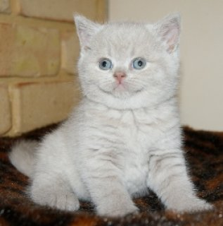 2WHITE GOOD LOOKING BRITISH KITTENS NOW AVAILABLE