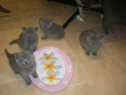 Blue British Shorthair kittens6
