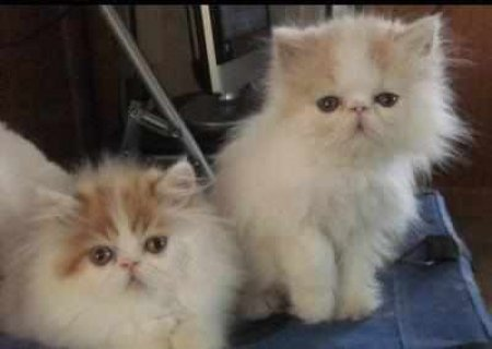 CFA PERSIAN AND HIMALAYANSs