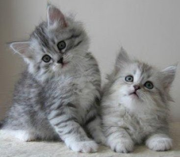 dsiberian kittens for re-homing to any lovely home