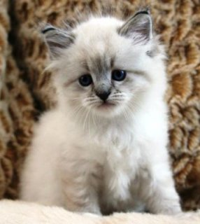 صور cute Siberian kittens for adoptionhhdd 1