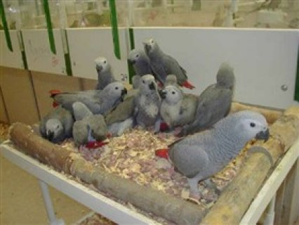 African Grey parrots and parrot eggs for saled
