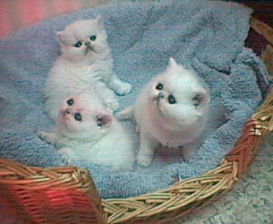 Registered great blood lines persian kittens,Pure