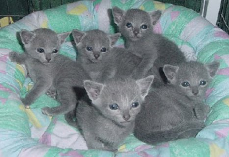 صور Russian Blue kittensSS 1