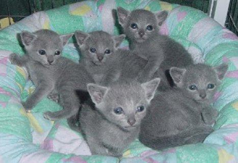 Russian Blue kittensSS