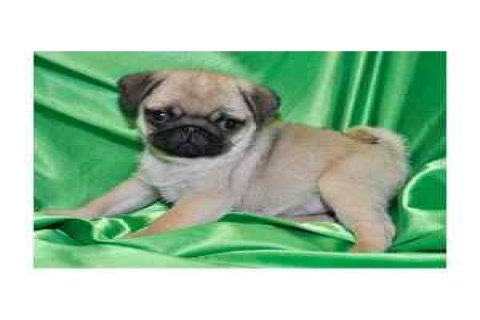 Handsome Male and Female Pug Puppies for Kids