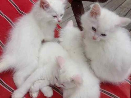 Cute and adorable male an female persian kittens r