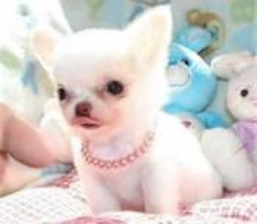 very lovey,charming and adorable Chihuahua Puppy f