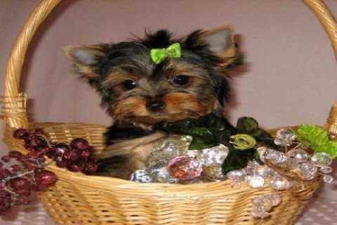 Tiny Teacup Yorkie Puppy
