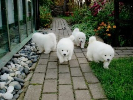 صور  Purebred Samoyed Puppies for Adoption 1
