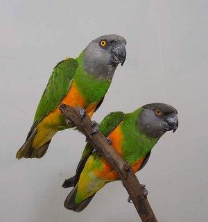 زوج sinigal parrot