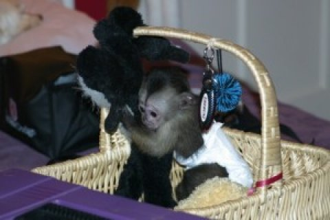 gorgeous capuchin monkeys for a caring home
