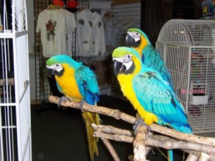 صورة 1 Awesome Pair Blue & Gold Macaw Parrots