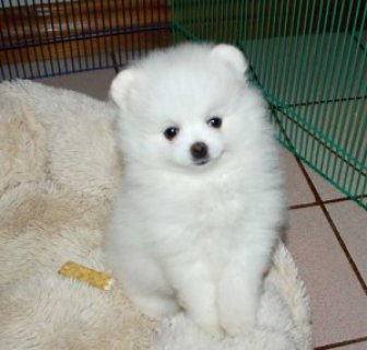 Pomeranian Puppies Ready For a New Home