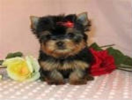 Healthy male and female teacup yorkie puppies