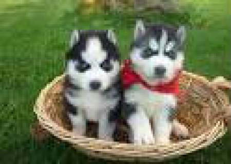 Top Quality Blue Eyes Siberian Husky Puppies