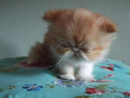 RED WHITE VAN SHORT HAIR PERSIAN SHOW KITTEN11