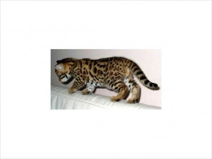 صور Adorable bengal kittens for rehoming 1