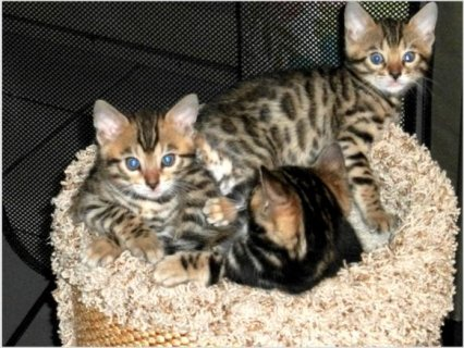 صور Bengal Kittens  For Adoption 1