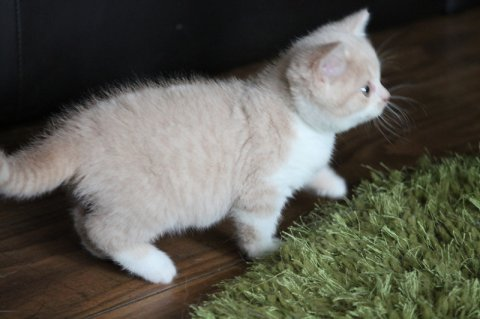 British Shorthair kittens For Adoption46645
