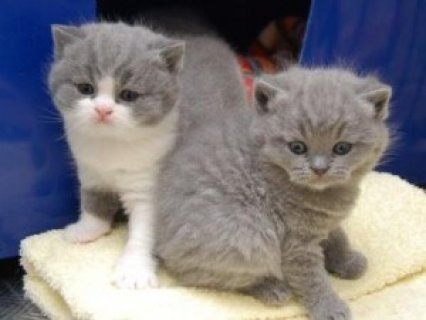 صور British Short Hair Kittens	 1