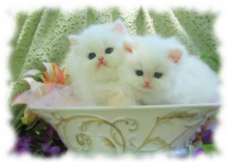2 Orange tabby,super flat nose, show quality persi