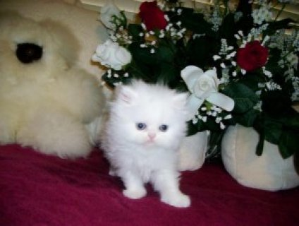 Persian Kittens & Cat: CFA Reg, Pedigr, Tampa Bay,