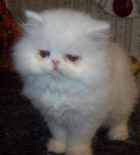 صور AMAZING PERSIAN KITTENS FOR ADOPTION.   1