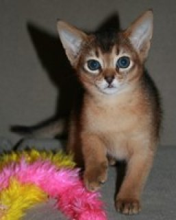 STUNNING MALE AND FEMALE ABYSSINIAN KITTENS FOR AD