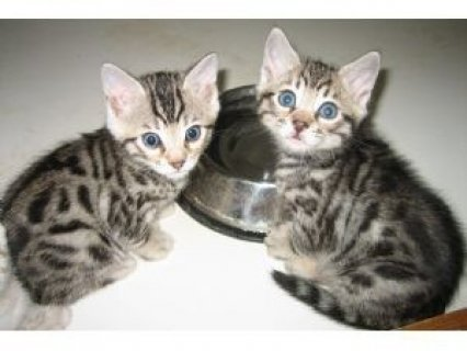 Adorable male and female BENGAL Kittens Available