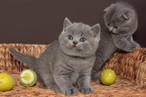 British Short/Long Hair Kittens For Sale  2