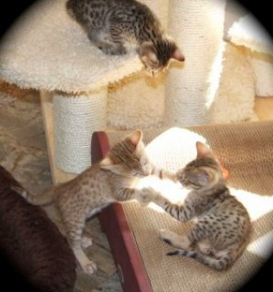 Male and female Savannah kittens2
