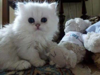 Cute Persian Kittens Available  1