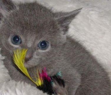 Male and Female Russian Blue Kitten