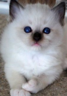 Ragdoll Kitten For Sale  2dw