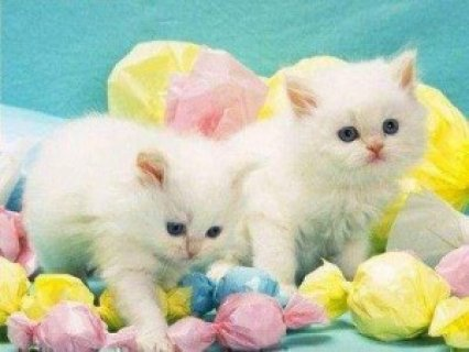 2 Teacup Persian Kittens For Sale.  1