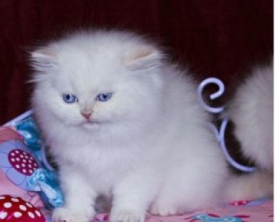 صور My Persian Kittens for Sale   1