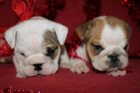 Tackle Male and Female English Bulldog Puppies Fo