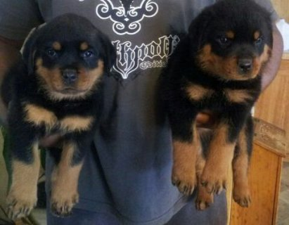 Rottweiler Puppies Available for sale.