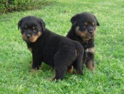 STUNNUNG AND OUTSTANDING MALE AND FEMALE ROTTWEILE