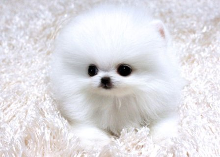 Four teacup Gorgeous Pomeranian Puppies for adopti