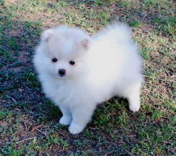 Adorable Teacup Pomeranian Puppies For Free Adopti
