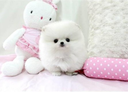 صور Two Gorgeous Pomeranian Puppies for adoption 1