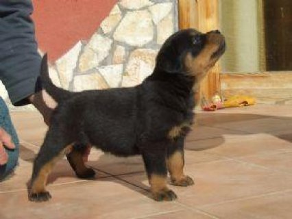 صور Cute Rottweiler Puppies For Adoption.	 1