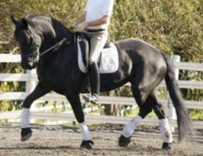 صور Black male and female Well trained Horse for sale  1