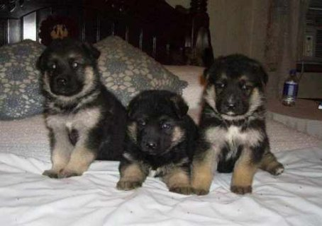 Outstanding Quality German Shepherd Puppies Out go