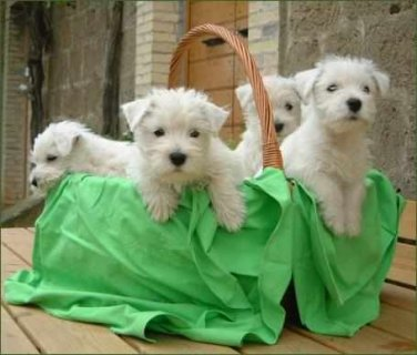 West Highland White Terrier Puppies looking for fo